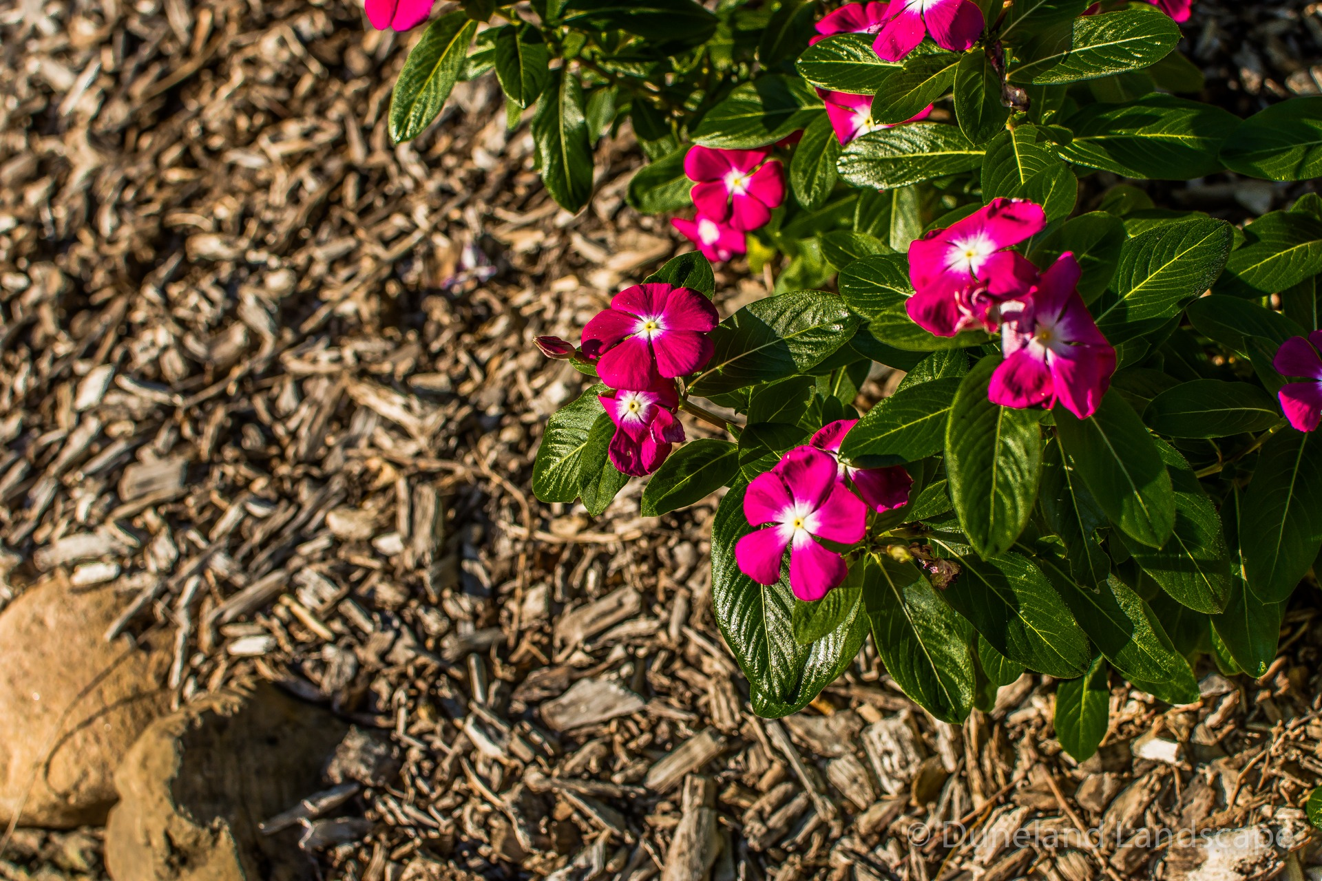 pink flowers in mulched garden bed