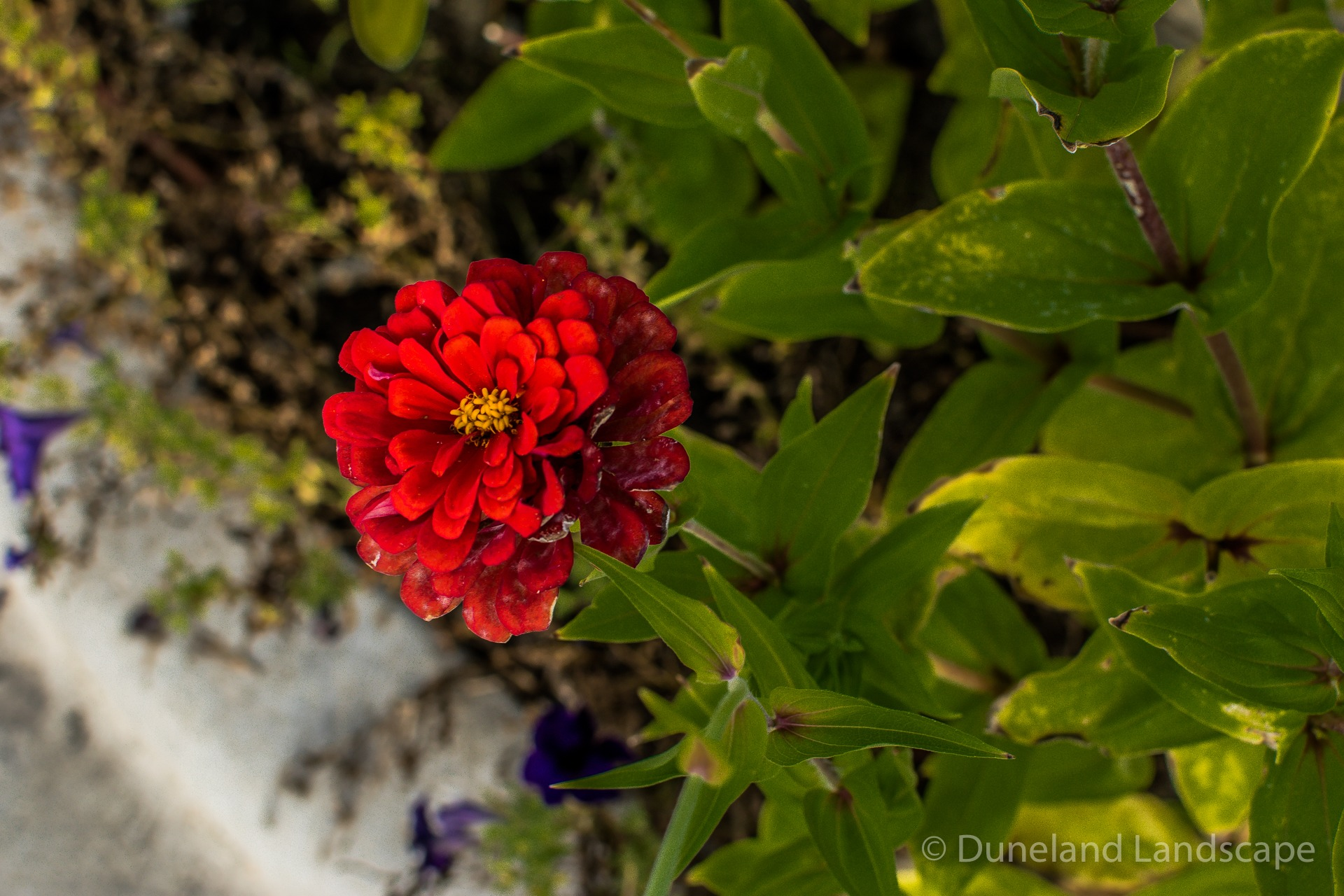 landscape ideas with bright red flowers