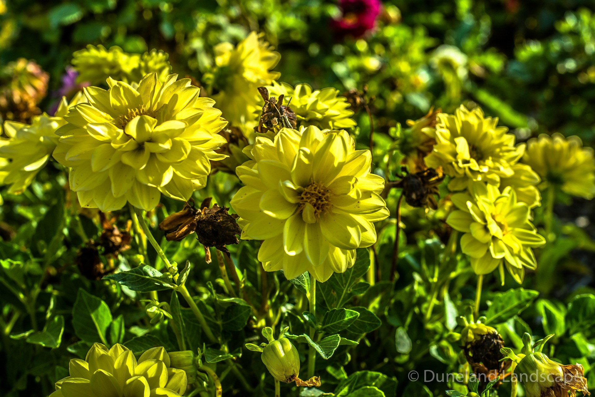 bright yellow flowers for landscaping