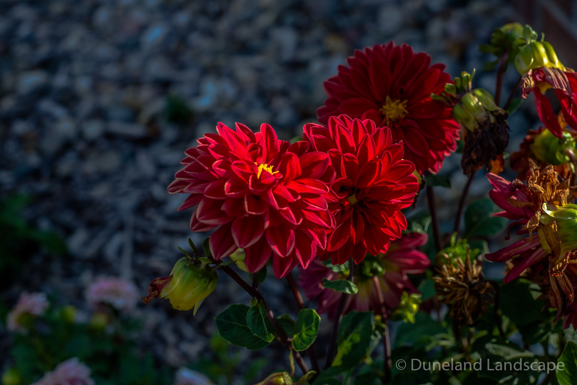 red flowers for Indiana landscape