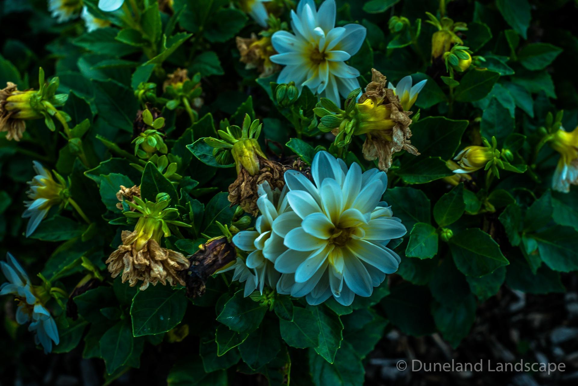 Duneland Landscape's signature blue flowers