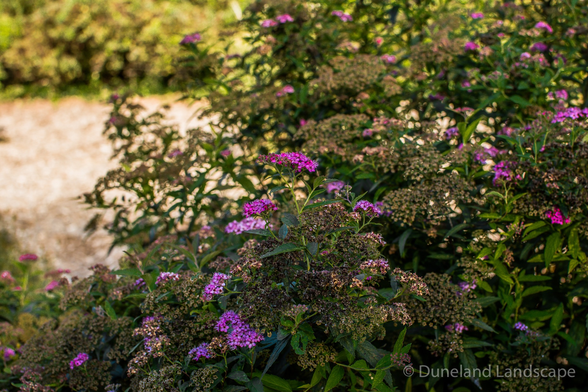 bright purple flower bush