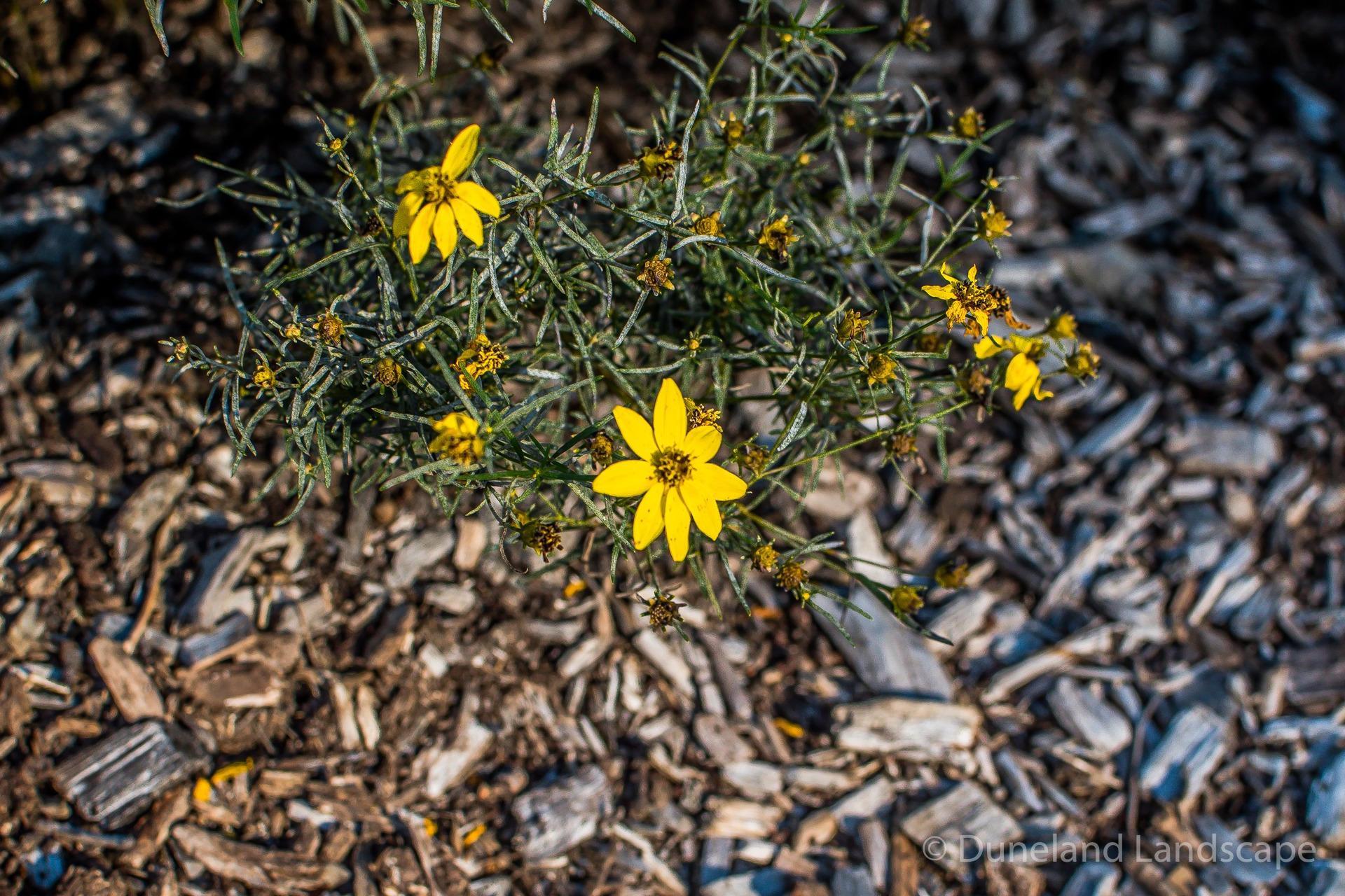 small yellow flowers and mulch